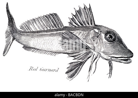 red gurnard 1822 - Stock Photo