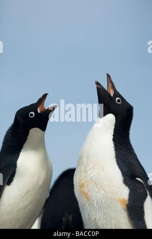 Breeding pair of Adelie penguins Pygoscelis adeliae greeting Paulet Island Antarctic Peninsula Antarctica - Stock Photo