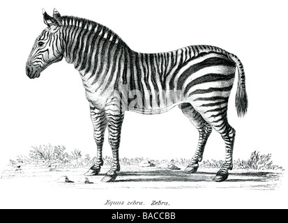 equine equus zebra African equids white and black stripes harems herds Plains Grevy's Mountain - Stock Photo