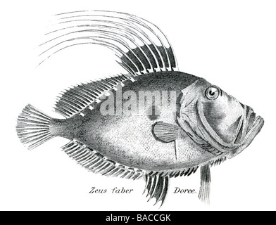 zeus faber doree John Dory, also known as St Pierre, refers to fish of the genus Zeus, especially Zeus faber, of - Stock Photo