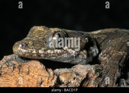 Flying Gecko Ptychozoon kuhli, Gekkonidae,  Asia - Stock Photo