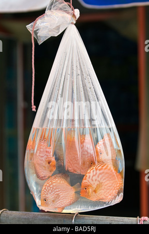 Tropical fish for sale are suspended in plastic bags ...