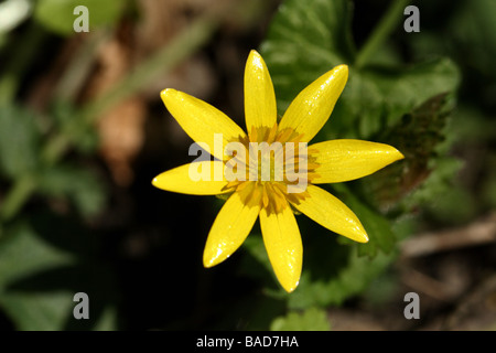 Lesser Celandine Ranunculus ficaria Family Ranunculaceae flower in close up macro detail showing symetry  and structure - Stock Photo