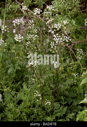 Cow Parsley aka Wild Chervil, Wild Beaked Parsley and Keck, Anthriscus sylvestris - Stock Photo