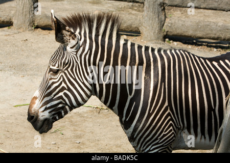 Grevy's zebra (Equus grevyi), a.k.a. imperial zebra, head, mane and fur, looking to the front, side view, Taipei - Stock Photo