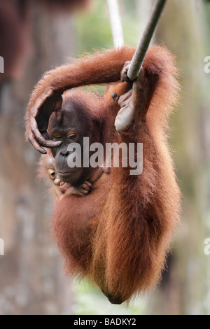 Orang utan mother and baby hanging on a rope Kabili Sepilok Rainforest Reserve Sabah Borneo - Stock Photo