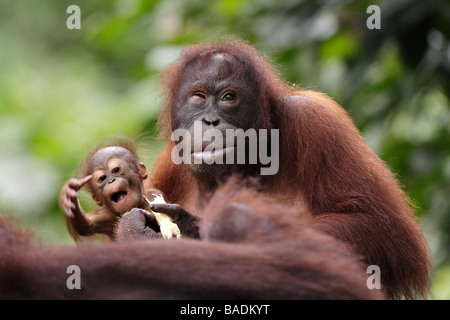 Mother and baby orang utan Kabili Sepilok Rainforest Reserve Sabah Borneo - Stock Photo