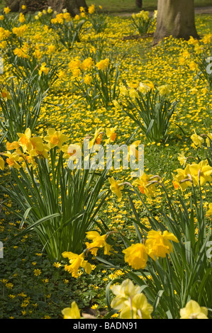 Yellow daffodils and lesser celandines in spring England UK United Kingdom GB Great Britain - Stock Photo