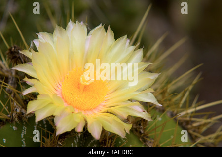 Cactus and succulents with yellow flowers in spring stock photo flowering yellow barrel cactus ferocactus in a cactus garden stock photo mightylinksfo