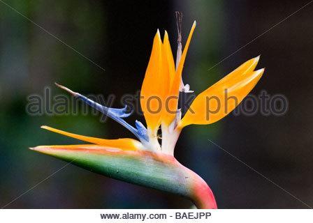 Strelitzia (Bird of Paradise flower) - Stock Photo