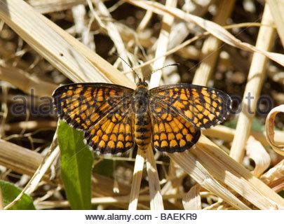 Sagebrush Checkerspot Chlosyne acastus Butterfly - Stock Photo