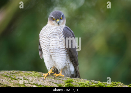 Adult female Eurasian Sparrowhawk (Accipiter nisus) perched on a log - Stock Photo