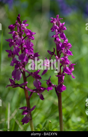 ORCHIS MASCULA, EARLY-PURPLE ORCHID. - Stock Photo