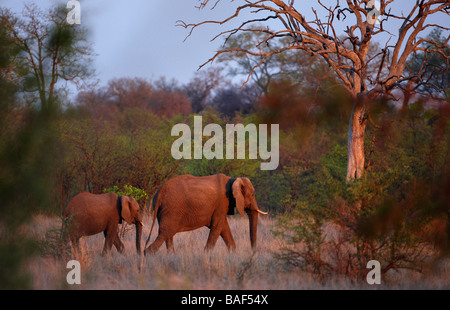 an African elephant with young in the bush at dusk, Kruger National Park, South Africa - Stock Photo