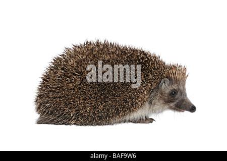 Hedgehog Erinaceus Europaeus - Stock Photo