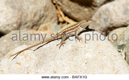 Striped Plateau Lizard Sceloporus virgatus - Stock Photo