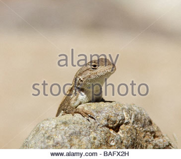 Striped Plateau Lizard Sceloporus virgatus peering over rock throat showing note blue spot - Stock Photo