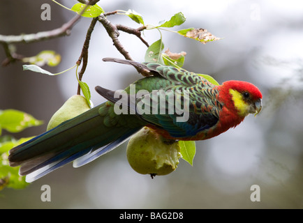 Parrot on fig tree - Stock Photo