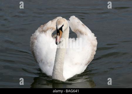 Mute Swan Cygnus olor Swimming Towards Camera - Stock Photo