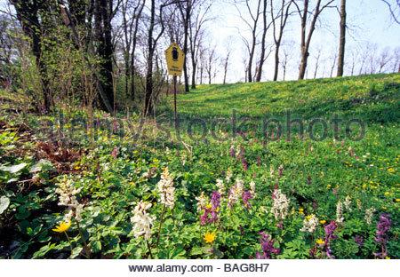 Flowering corydalis in nature reserve near Torgau Germany Blühender Lerchensporn in Flächennaturdenkmal nähe Torgau - Stock Photo