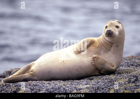 Grey Seal (Halichoerus grypus), resting on barnacle covered rock - Stock Photo