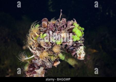 Mussels in Jellyfish Lake Jellyfish Lake Micronesia Palau - Stock Photo