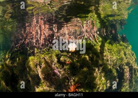 Jellyfish in Mangrove Area Mastigias papua etpisonii Jellyfish Lake Micronesia Palau - Stock Photo