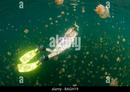 Snorkeling in Jellyfish Lake Mastigias papua etpisonii Jellyfish Lake Micronesia Palau - Stock Photo