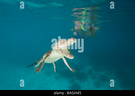 Skin Diver meets Saltwater Crocodile Crocodylus porosus Micronesia Palau - Stock Photo