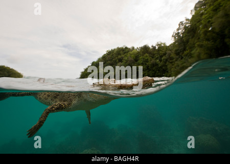 Saltwater Crocodile Crocodylus porosus Micronesia Palau - Stock Photo