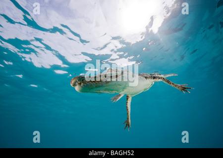 Saltwater Crocodile Crocodylus porosus Micronesia Palau
