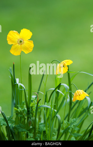 Meconopsis cambrica. Welsh Poppy flowers - Stock Photo
