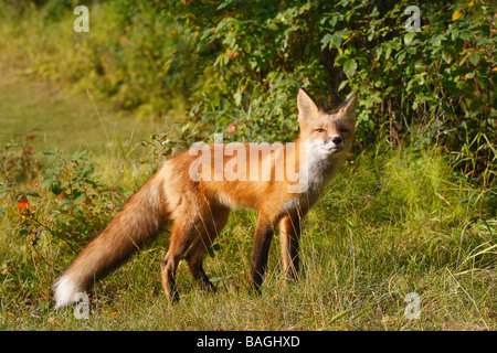 Red Fox (Vulpes vulpes).  Young from the year standing, side view - Stock Photo