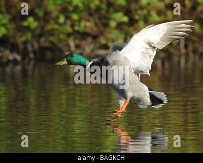 A male mallard coming in to land, home to roost.