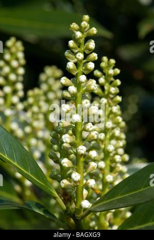 Laurel, Laurus Nobilis, Lauraceae, Sweet Bay Tree close up of pale yellow flowers - Stock Photo