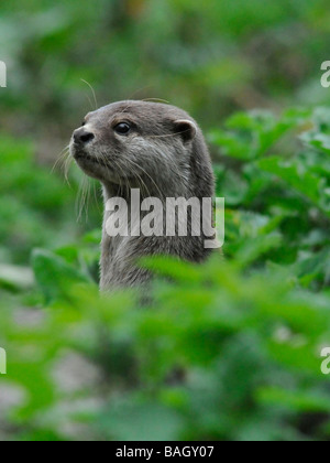 An asian short clawed otter on guard and alert amongst woodland. - Stock Photo
