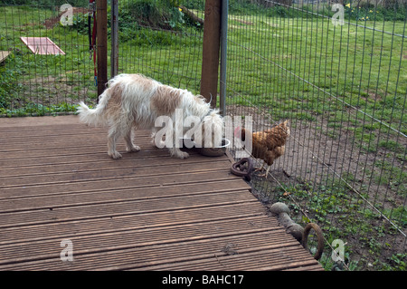 terrier eating food with chicken watching - Stock Photo