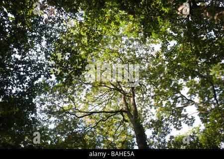Summer sunlight filters through the old boughs and green foliage of swaying oak trees in the ancient forest of Sydenham - Stock Photo