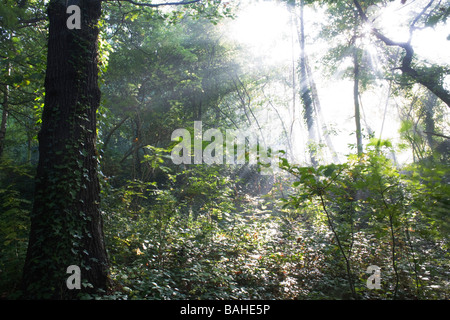 Summer sunlight filters through the old boughs and green foliage of oak and beech trees in the ancient forest of - Stock Photo