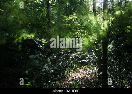 Summer sunlight filters through the old boughs and green foliage of healthy beech trees in the ancient forest of - Stock Photo