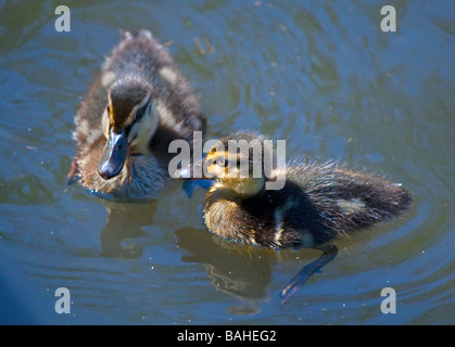 Two Mallard Ducklings (anas platyrhynchos) swimming on a Pond - Stock Photo