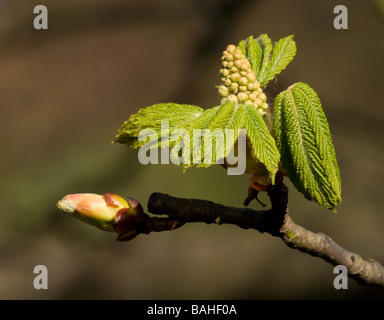 Horse chestnut tree just emerging into leaf and flower - Stock Photo