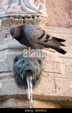 The pigeon on the fountain Maggiore - Stock Photo