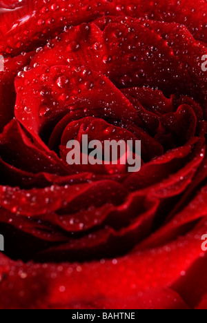 a red rose with water drops, cluse up - Stock Photo