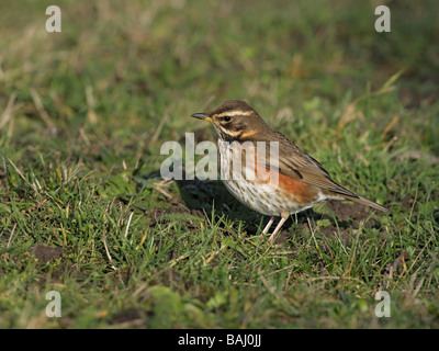 Redwing, Turdus iliacus, looking for food in short grass - Stock Photo