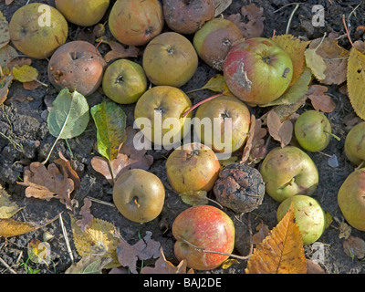 not reaped apples in autumn lying in a groove at Vogelsberg Hesse Germany - Stock Photo