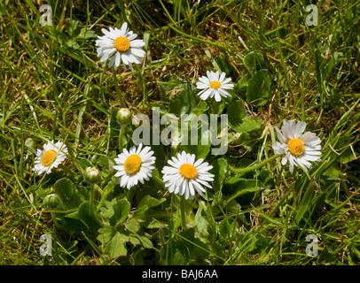 Bellis perennis is a common European species of Daisy, Common Daisy Lawn Daisy English Daisy