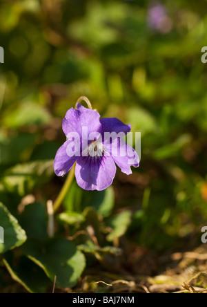 English violet Viola odorata England UK GB - Stock Photo