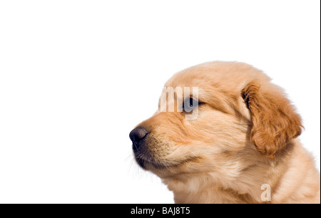 Profile of a cute female yellow labrador-mix puppy six weeks old. Isolated over white with copy space. - Stock Photo