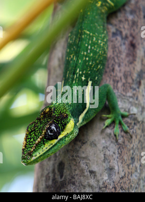 The Knight Anole, Anolis equestris, is a species of lizard in the family Polychrotidae. It is native to Cuba,. - Stock Photo